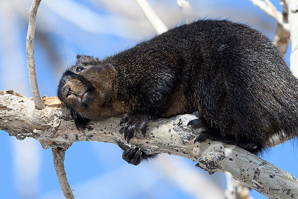 Woody's Wildlife, Nature and Other Stuff 2018-blacksquirrel-322.jpg