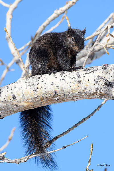 Woody's Wildlife, Nature and Other Stuff 2018-blacksquirrel-323.jpg