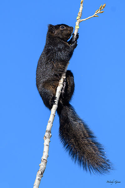 Woody's Wildlife, Nature and Other Stuff 2018-blacksquirrel-324.jpg