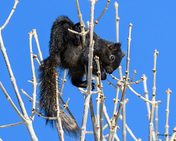 Woody's Wildlife, Nature and Other Stuff 2018-blacksquirrel-326.jpg