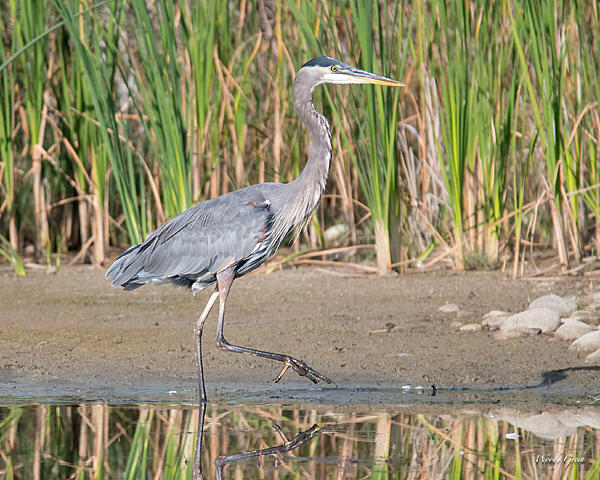 Woody's Wildlife, Nature and Other Stuff 2018-gbh-313.jpg