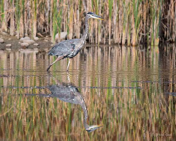 Woody's Wildlife, Nature and Other Stuff 2018-gbh-314.jpg