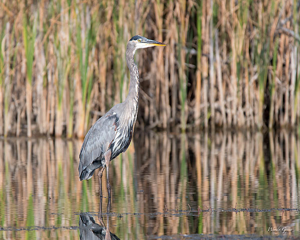 Woody's Wildlife, Nature and Other Stuff 2018-gbh-315.jpg