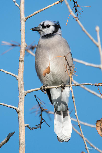 Woody's Wildlife, Nature and Other Stuff 2018-bluejay-300.jpg