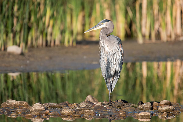 Woody's Wildlife, Nature and Other Stuff 2018-gbh-321.jpg