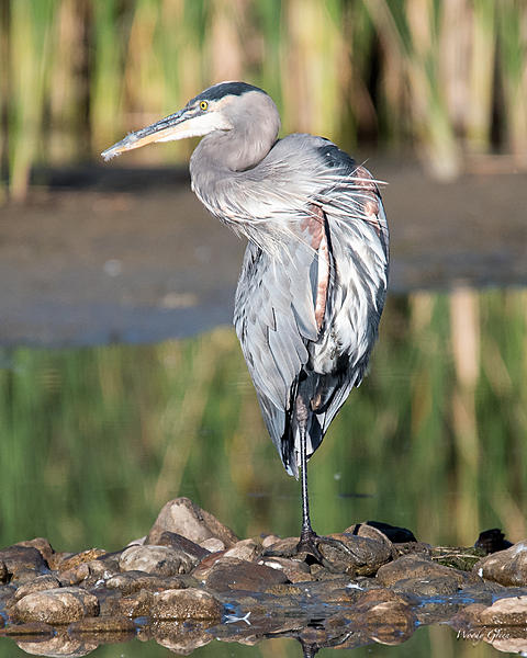 Woody's Wildlife, Nature and Other Stuff 2018-gbh-322.jpg