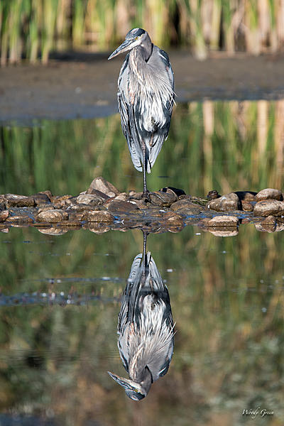 Woody's Wildlife, Nature and Other Stuff 2018-gbh-323.jpg