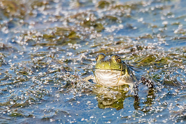 Woody's Wildlife, Nature and Other Stuff 2018-frog-300.jpg