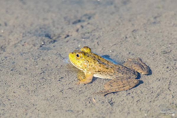 Woody's Wildlife, Nature and Other Stuff 2018-frog-301.jpg