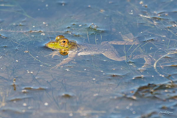 Woody's Wildlife, Nature and Other Stuff 2018-frog-302.jpg