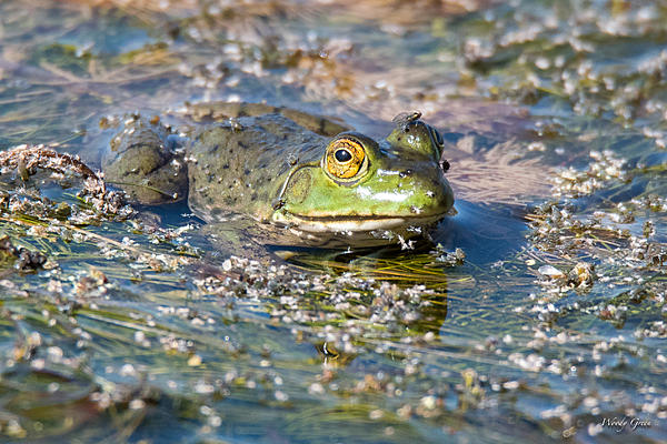 Woody's Wildlife, Nature and Other Stuff 2018-frog-303.jpg