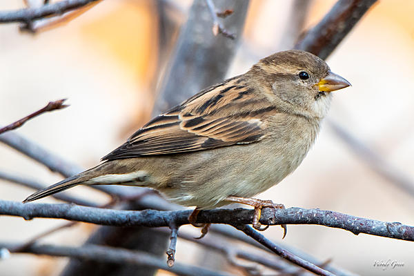 Woody's Wildlife, Nature and Other Stuff 2018-housefinch-312.jpg