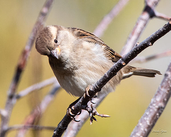 Woody's Wildlife, Nature and Other Stuff 2018-housefinch-313.jpg