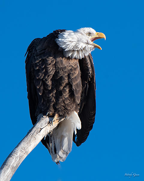 Woody's Wildlife, Nature and Other Stuff 2018-bald-361.jpg