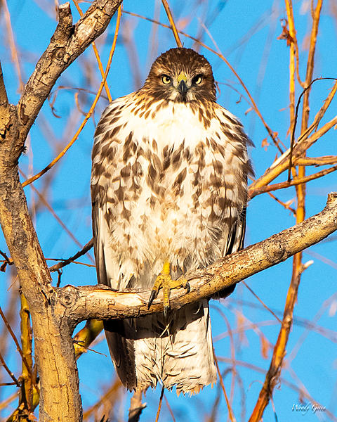 Woody's Wildlife, Nature and Other Stuff 2018-redtail-360.jpg