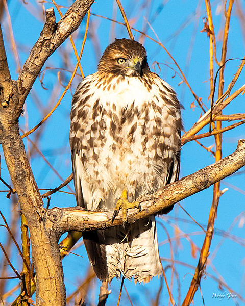 Woody's Wildlife, Nature and Other Stuff 2018-redtail-361.jpg