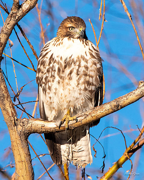 Woody's Wildlife, Nature and Other Stuff 2018-redtail-362.jpg