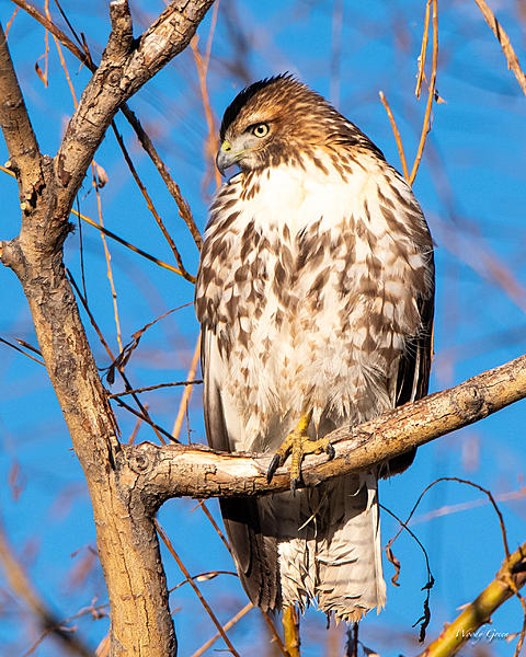 Woody's Wildlife, Nature and Other Stuff 2018-redtail-363.jpg