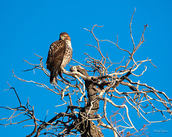 Woody's Wildlife, Nature and Other Stuff 2018-redtail-370.jpg