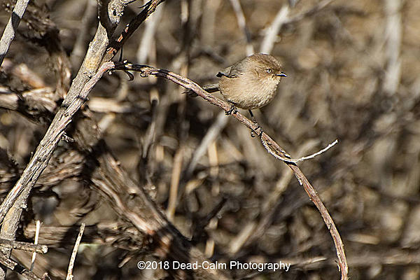 Dawg Pics' New Adventures of the D500 (and maybe the D300)-bushtit-n-500_7948.jpg