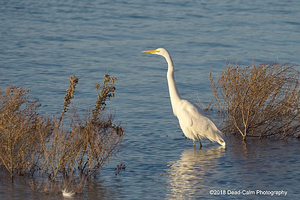 Dawg Pics' New Adventures of the D500 (and maybe the D300)-egret-n-500_7733.jpg