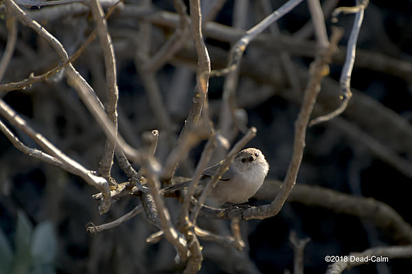 Dawg Pics' New Adventures of the D500 (and maybe the D300)-bushtit-n-500_7850.jpg