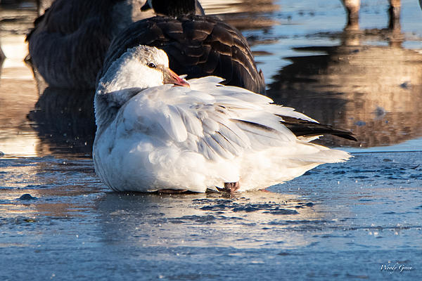 Woody's Wildlife, Nature and Other Stuff 2018-rosssgoose-300.jpg