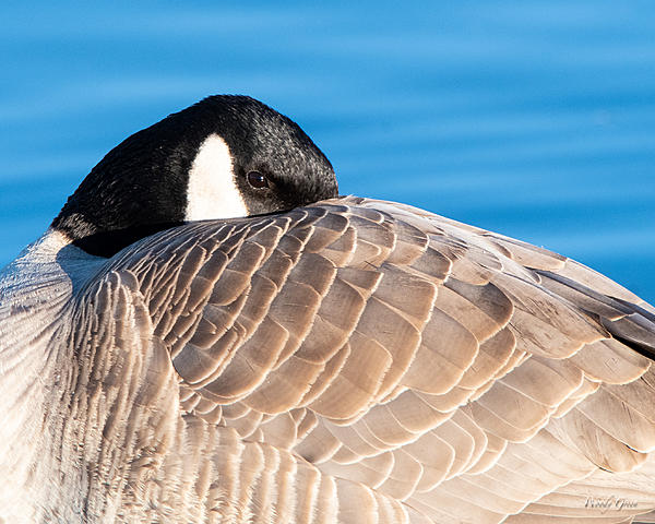 Woody's Wildlife, Nature and Other Stuff 2018-gooseresting-301.jpg