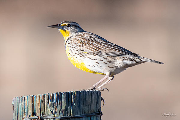 Woody's Wildlife, Nature and Other Stuff 2018-meadowlark-376.jpg