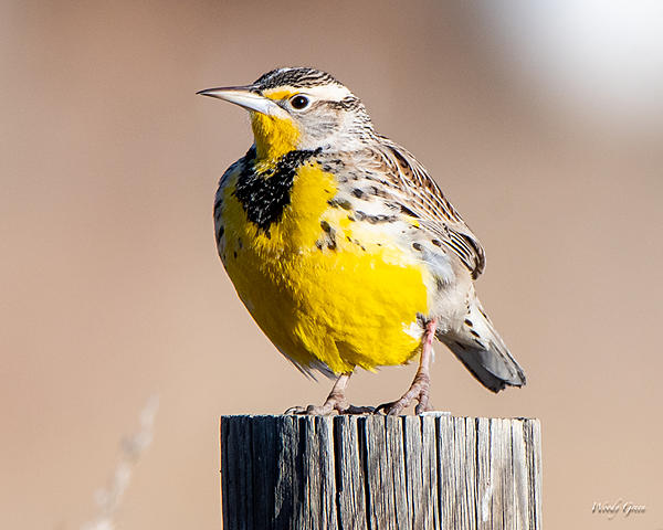 Woody's Wildlife, Nature and Other Stuff 2018-meadowlark-377.jpg