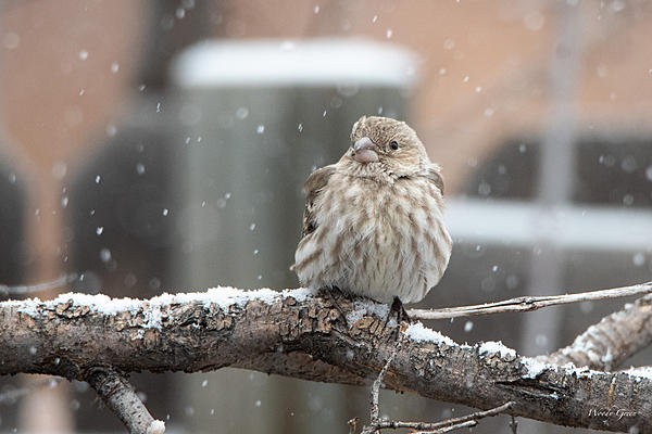 Woody's Wildlife, Nature and Other Stuff 2018-housefinchsnow-300.jpg