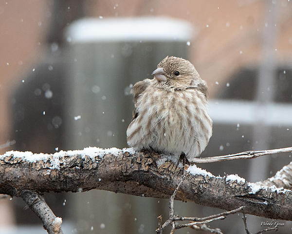 Woody's Wildlife, Nature and Other Stuff 2018-housefinchsnow-301.jpg