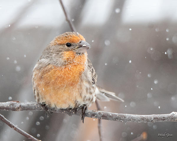 Woody's Wildlife, Nature and Other Stuff 2018-housefinchsnow-302.jpg