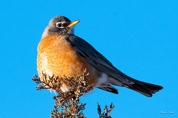 Woody's Wildlife, Nature and Other Stuff 2019-robin-400.jpg