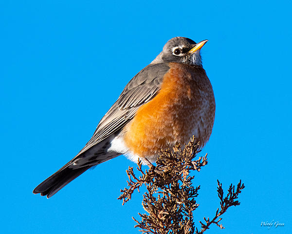Woody's Wildlife, Nature and Other Stuff 2019-robin-402.jpg