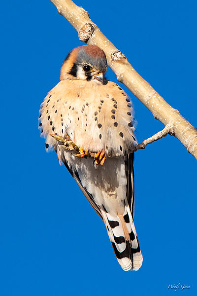 Woody's Wildlife, Nature and Other Stuff 2019-kestral-400.jpg