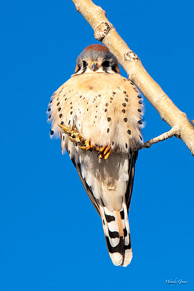 Woody's Wildlife, Nature and Other Stuff 2019-kestral-401.jpg