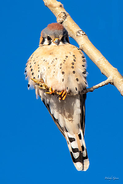 Woody's Wildlife, Nature and Other Stuff 2019-kestral-402.jpg