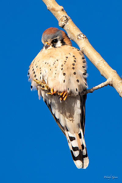 Woody's Wildlife, Nature and Other Stuff 2019-kestral-403.jpg