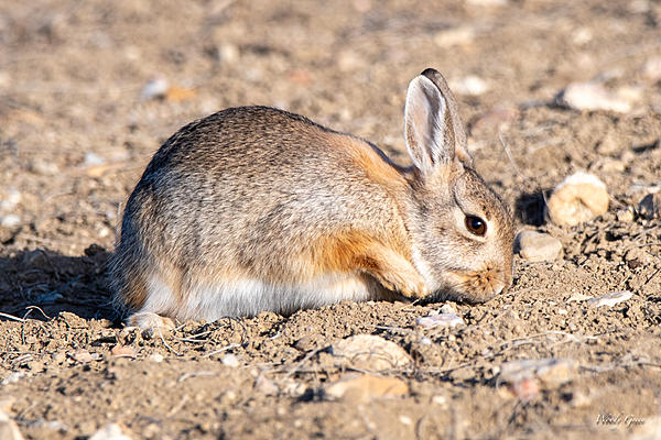 Woody's Wildlife, Nature and Other Stuff 2019-bunnydigging-400.jpg