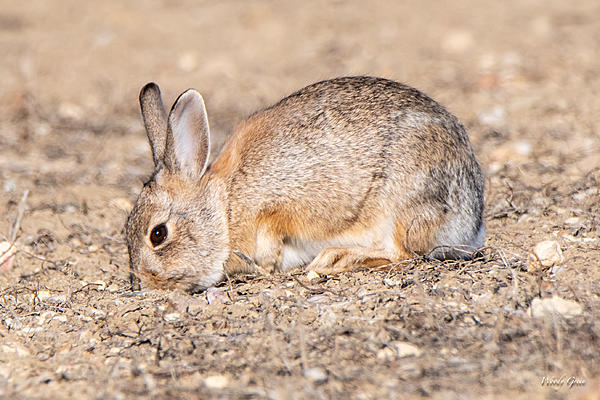 Woody's Wildlife, Nature and Other Stuff 2019-bunnydigging-401.jpg