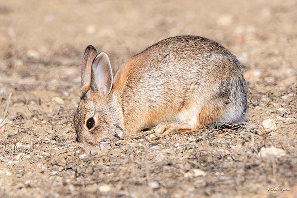 Woody's Wildlife, Nature and Other Stuff 2019-bunnydigging-402.jpg