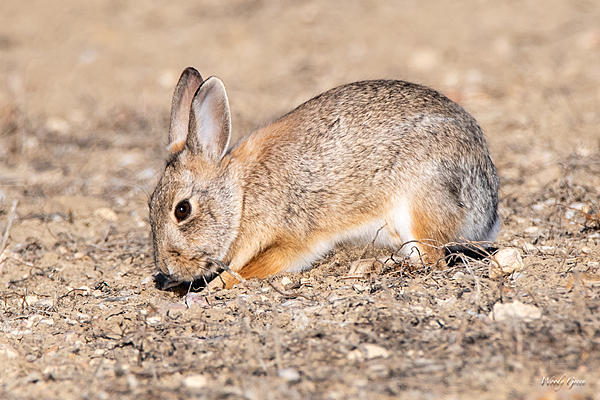 Woody's Wildlife, Nature and Other Stuff 2019-bunnydigging-403.jpg