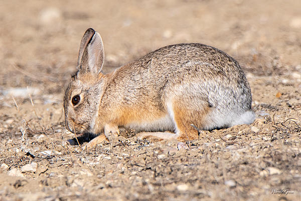 Woody's Wildlife, Nature and Other Stuff 2019-bunnydigging-404.jpg