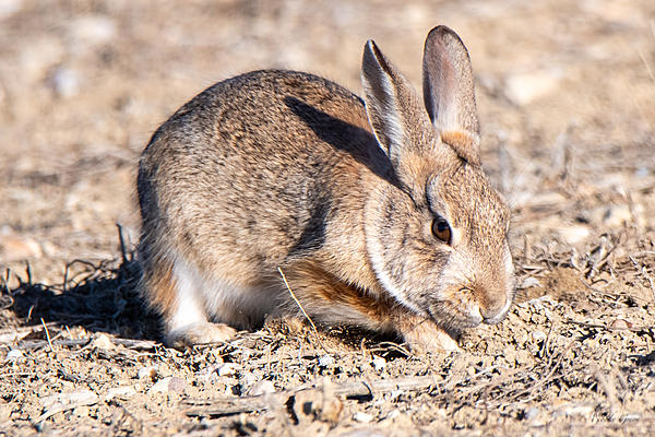 Woody's Wildlife, Nature and Other Stuff 2019-bunnydigging-405.jpg