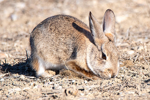 Woody's Wildlife, Nature and Other Stuff 2019-bunnydigging-406.jpg