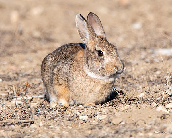 Woody's Wildlife, Nature and Other Stuff 2019-bunnycute-400.jpg