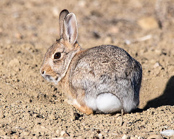 Woody's Wildlife, Nature and Other Stuff 2019-bunnycute-401.jpg