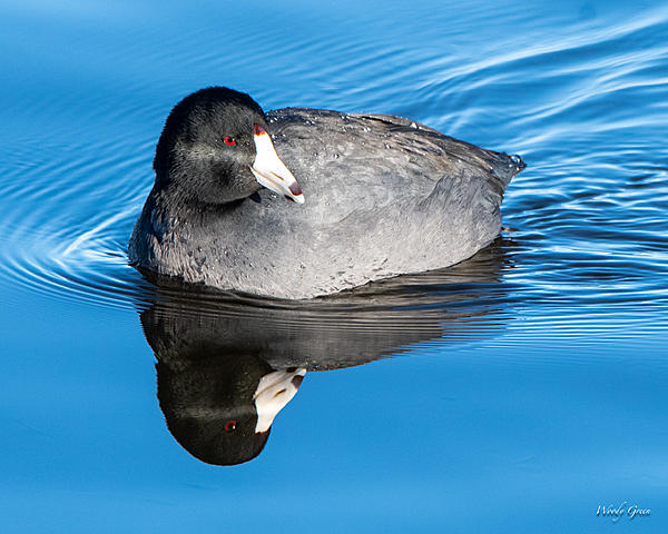 Woody's Wildlife, Nature and Other Stuff 2019-coot-400.jpg