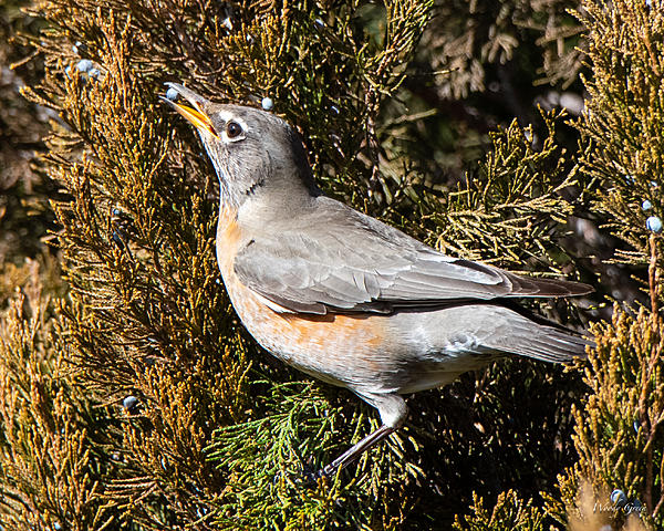 Woody's Wildlife, Nature and Other Stuff 2019-robinberry-400.jpg